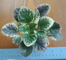 African Violet Plant - Mac's Virtually Velvet ~ variegated semi~