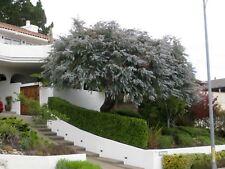 Argyle Apple  ( Eucalyptus cinerea ) 50 Seeds