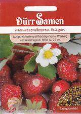 Monatserdbeere Rügen großfrüchtig aromatisch Fragaria vesca 100 Korn Dürr Samen