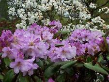 Rhododendron campanulatum 50 seeds