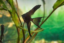3 Black Veil Angels  (dime size body ) 3 fish