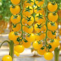 50 Samen. Gelbe Zauntomate.Aromatische Kirschtomate mit Gelben Früchten Neu M9U5