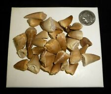 Mosasaur Teeth Fossil Specimens Africa 38 grams