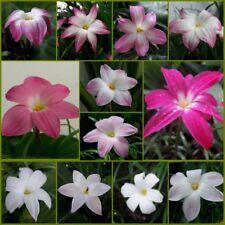 12 Bulbs 12 Species Rain Lily Zephyranthes Labuffarosa Rainflower Flowering Size