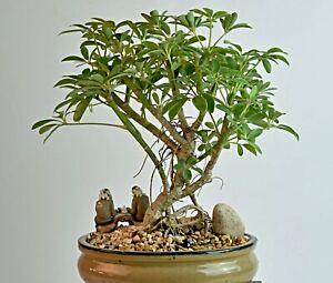 kleine Strahlenaralie Samen, Schefflera arboricola, Umbrella Tree, für Bonsai