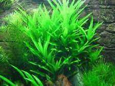 Willow Hygrophilia Angustifolia Freshwater Aquarium Plant Hygro Live
