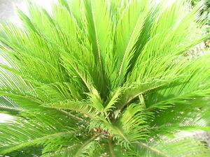 Cycas revoluta, Sago-Palme sehr dekorative langsam wachsend 80-90 cm hoch
