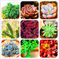 Succulents Garden Lithops Pseudotruncatella Bonsai Plants Flowers 100 PCS Seeds