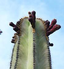 Stenocereus dumortieri rare Isolatocereus cereus Candelabra cactus seed 20 SEEDS