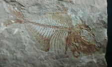 FISH FOSSIL FROM LEBANON.  Pharmacichthys venenifer.  SUPER RARE!