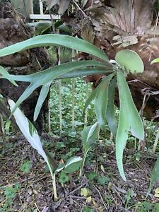 Elkhorn Staghorn Fern One Pup Like In Picture Ready To Mount Free Post