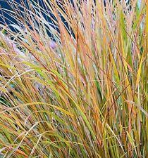 Anemanthele lessoniana Pheasants Tail NZ Wind Grass Stipa 30 Seeds Hardy UKFreeP