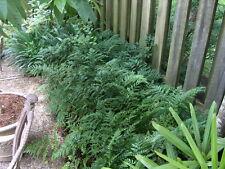 Leather Leaf Fern - Rumohra adiantiformis - 1 Gallon Plant