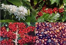 COFFEE BEAN (Coffea Arabica) 10+SEEDS
