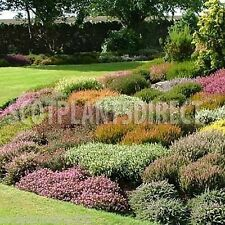 40 x Mixed Scottish Heathers Plants Ground Cover  8cm Pots (e249)
