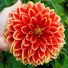 10PCS Rare Dahlia Seeds Bonsai Plant Tree House Herb Garden Flower Pot Decor