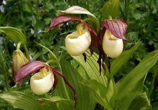 Cypripedium kentuckiense very rare HARDY orchid PLANT
