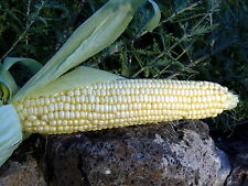 Pearl Supersweet Corn - stable, open-pollinated variety with wonderful flavor