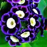 100 stk Tricolor Petunien Samen Petunia Blumen Balkon Garten Ampel Petunie/ E3Q7
