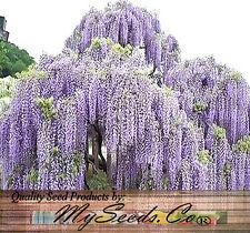 (5) JAPANESE WISTERIA - Wisteria floribunda Seeds - LONGEST Flower Racemes