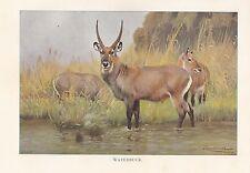 c1914 NATURAL HISTORY PRINT ~ WATERBUCK ~ LYDEKKER