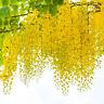 exotische Blüten Rarität Saatgut seltene Garten Balkon Pflanze GOLDREGEN