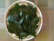 Bay Leaves Organic:75 pc's Ship Green Fresh Picked from the Plant. CA-USA grown.