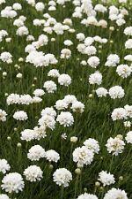 Armeria Seeds First Up White 50 Flower Seeds Perennial Garden Leader