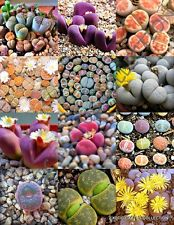 COLOR LITHOPS MIX succulent EXOTIC living stones desert rock seed plant 15 SEEDS
