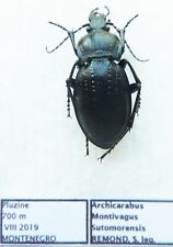 Carabus archicarabus montivagus sutomorensis (female A1) from MONTENEGRO