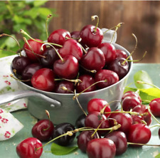 100Pcs Red And Black Cherry Berry Seeds Ordinary Organic Tasty Kitchen-Gardden