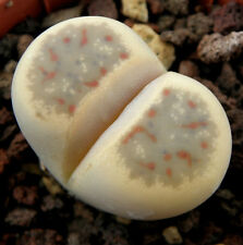 Living Stone Seed Arid Living Small Plant from Namibia Lithops dinteri Colourful