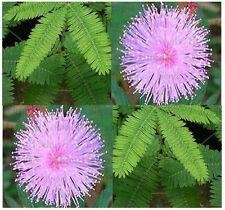 (20) SENSITIVE PLANT Flower Seeds - Schrankia uncinata  - Combined S&H
