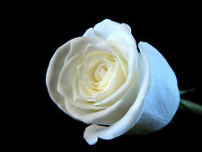 White Rose Aroma Oil for Burners Humidifiers Soap Candle Oil and Water based
