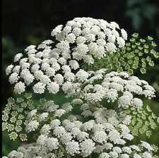 Flower - Ammi Majus - 600 Seeds