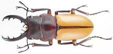 Insect - LUCANIDAE Prosopocoilus bruijni pelengensis - Peleng - Male30mm+ ....!!