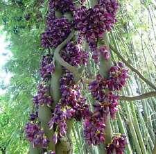 Mucuna sempervirens Samen (Synonym: Mucuna japonica/mairei)  Samtbohne, Sea Bean