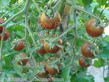 schwarze cocktail-tomate tomaten Black CEREZA 10 Semillas Frescas balcón