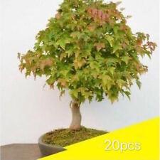 20 Bonsai Tree Seeds, Home Garden Maple Tree - Chinese Triangle Maple Kj