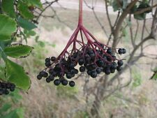 elderberry, BLACK ELDERBERRY tree berry, 100 seeds! GroCo