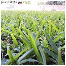 20 Buffalo Grass Seeds Beautiful Decorative Ornamental Lawn Grass Garden Plants