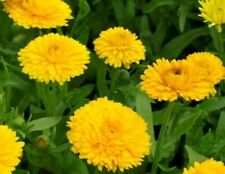 CALENDULA  GOLDEN EMPEROR 50 FRESH SEEDS  FREE SHIPPING