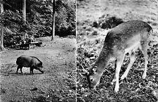 BG24026 bad driburg  damhirsch wildpark deer wild pig cerf   germany CPSM 14x9cm