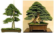 50 graines de Juniperus Rigida , temple Juniper,  graines bonsaï F
