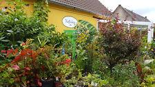 TOMATE  orange Wildtomate immertragend hängend, Ampel, Kübel, Topf, Zimmer