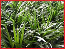 Dwarf/Mini Mondo Grass 100 Plants