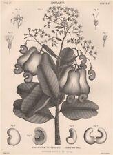 Anacardium Occidentale (Cashew Nut Tree) 1898 old antique print picture