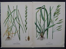 Canadian Farm Weeds c.1910 Common Darnel Chess or Cheat Two Prints S3#33