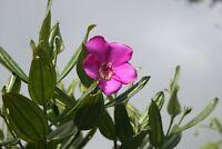 Meriania Longifolia * Stunning Ornamental Tree * Purple Flower * Rare 5 Seeds *