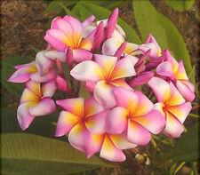 "5 Fresh Seeds Frangipani PLUMERIA RUBRA ""Toffie"""